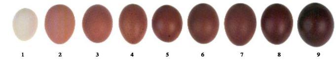 Marans egg scale.JPG