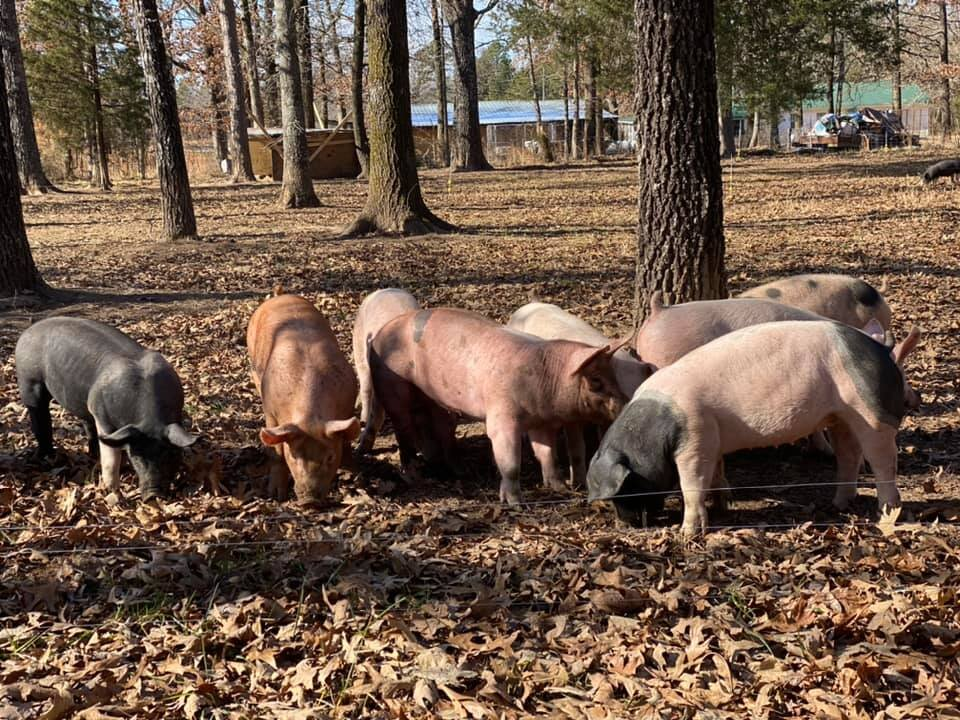 Pigs grazing on forested land